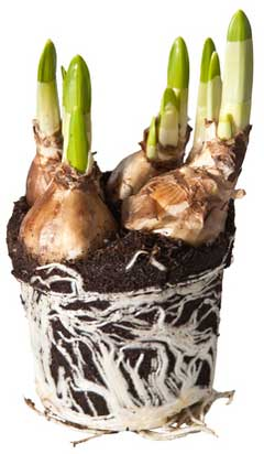 garden bulbs and rhizomes