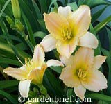 Daylily Babylonian Pearl