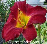 Daylily Cardinals Crest