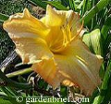 Daylily Comanche Drums