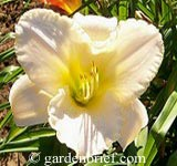 Daylily Early Snow