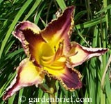 Daylily Elizabeths Magic