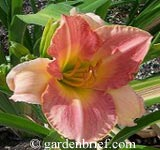 Daylily Marchioness