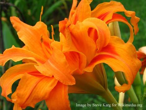 daylily plants
