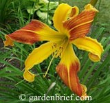 Daylily Spindazzle
