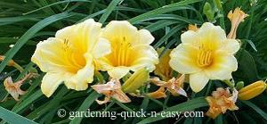 daylily prior to deadheading