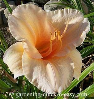 edible daylily