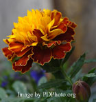 edible flower marigold