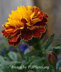edible marigolds