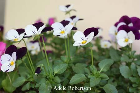 flower gardening violas