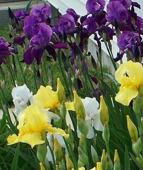 fragrant bearded iris