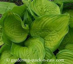 fragrant hosta stained glass