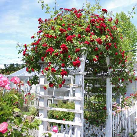 gardening rose tip