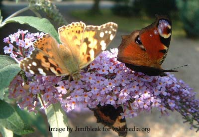 butterfly gardening tips