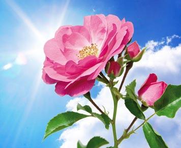 garden rose tip