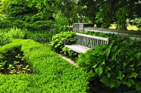 hosta specimen plants