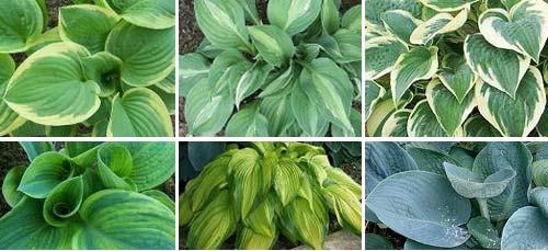 hosta varieties