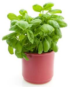 indoor herb plant