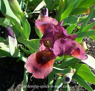lady in red iris