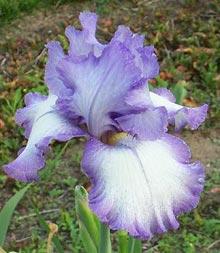 iris everything plus