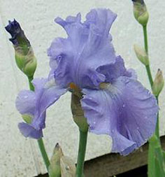 iris full tide