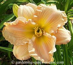 rebloom daylily
