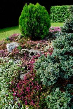 rock garden conifer