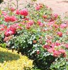 rosegardeningtips