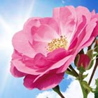 essential garden rose tip