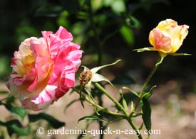 rose gardening advice