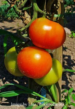 gardening tips for growing tomatoes