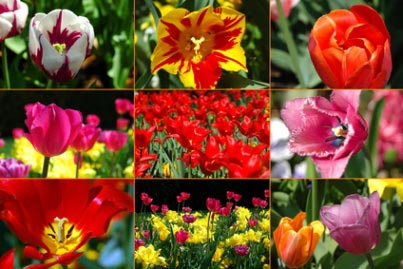 tulips look alike