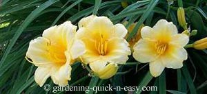 daylily after deadheading