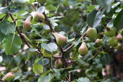 pear fruit gardening