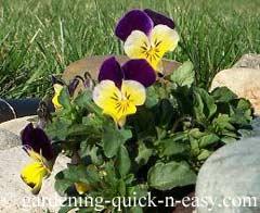 groundcover viola