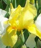 planting iris