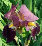 iris pics