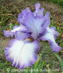 gardening iris