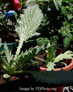 artichoke growing