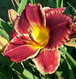Calgary Stampede Daylily