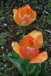 Daydream Tulip